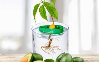 Как посадить авокадо дома из косточки