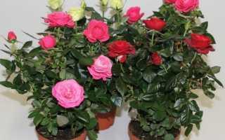 Роза домашняя в горшке как размножить