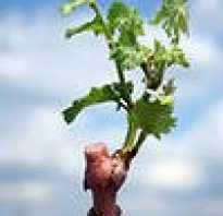 Выращивание саженцев винограда в домашних условиях