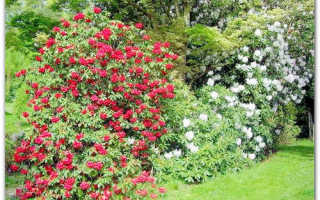 Уход и выращивание в саду камелии