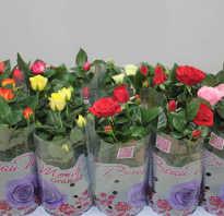 Как ухаживать за домашними декоративными розами