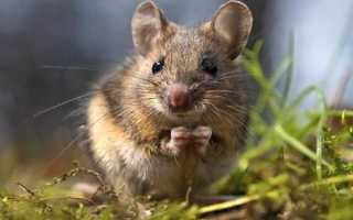 Появились мыши во дворе и дома