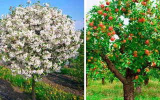 Карликовые яблони ранние сорта