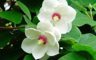 Магнолия цветок Магнолия названия сортов