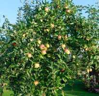 Лучшие сорта карликовых яблонь