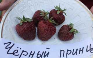 Клубника Чёрный принц описание и технология выращивания