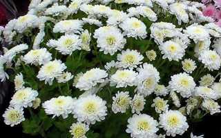 Агротехника выращивания хризантемы в открытом грунте