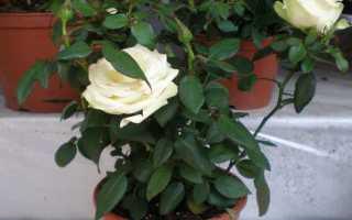 Домашняя роза уход в домашних условиях зимой