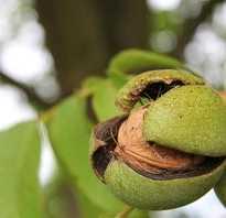 Как посадить грецкий орех из ореха осенью