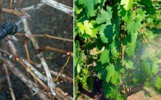 Борьба с болезнями винограда весной народными средствами
