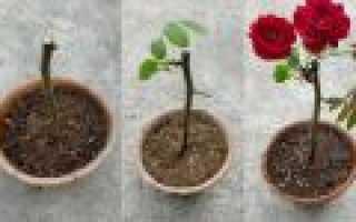 Черенкование роз в воде