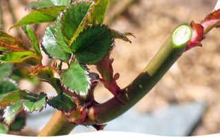 Выращивание роз в открытом грунте необходимые сведения