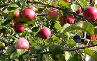Посадка карликовых яблонь плюсы и минусы