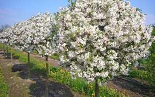 Сорта яблонь на карликовом подвое