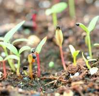 Как вырастить целозию на даче