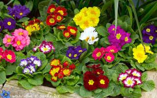 Многолетние цветы на даче тенелюбивые