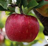 Карликовые яблони зимние сорта