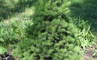 Вырастить елку из семян в домашних условиях