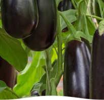 Посев баклажан на рассаду практичные советы