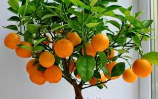 Посадила мандариновую косточку как ухаживать