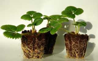 Как из семечек клубники вырастить рассаду