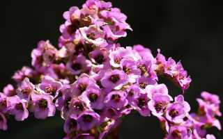 Вечнозеленый цветок бадан всегда при параде