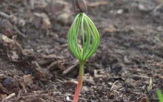 Можно ли вырастить кедр из ореха