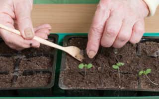 Базилик выращивание из семян пикировка