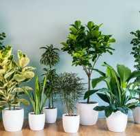 Самые полезные комнатные растения приносящие здоровье