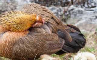 Клещи у цыплят лечение в домашних условиях