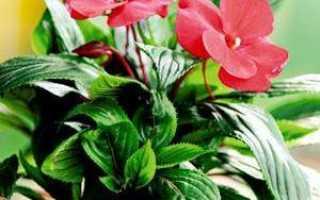 Бальзамин выращивание из семян в домашних условиях